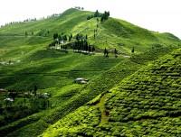 Illam Tea Garden